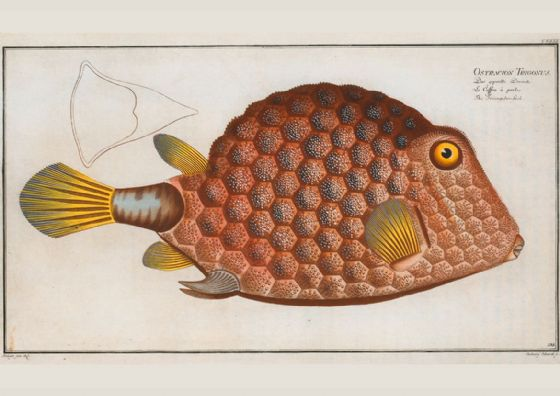 Bloch, Marcus Elieser: Natural History Plate - The Triangular Fish . Fine Art Print/Poster (4950)